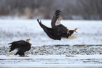 Bald Eagle (Haliaeetus leucocephalus) leaping in defense at another Bald Eagle passing overhead. Southeast, Alaska. December.