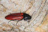 Blutroter Schnellkäfer, Rotdecken-Schnellkäfer, Ampedus spec., Ampedus cf. sanguineus, Cardinal click beetle, Schnellkäfer, Elateridae, Click beetles