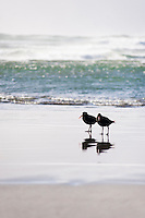 Pair of Two Oystercatchers at Wharariki Beach, Golden Bay, South Island, New Zealand. Wharariki Beach is a remarkable, remote, deserted beach, weathered by strong, driving winds located in the north of South Island, New Zealand in the Golden Bay Area.
