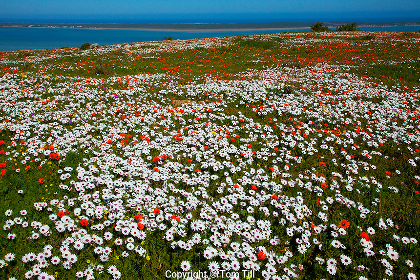 Wildflowers above the bay West Coast National Park, South Africa  Atlantic Ocean  White and orange African daisies   Dimorphotheca sp.  Northern Cape Area