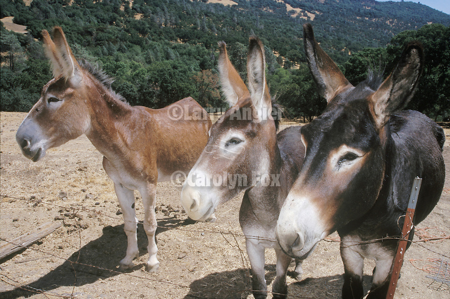 Three Catalonian jackasses watch the road in the Calif. Foothills