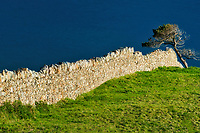 Rock fence and tree. County Galway, Clifden,Connemara. Ireland