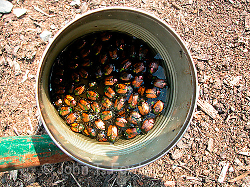 Japanese beetles Popillia japonica removed from beetle trap