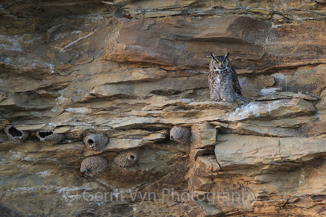 Adult female Great Horned Owl (Bubo virginianus) jsut after departing roost in early evening. Sublette County, Wyoming. June.
