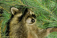 MA20-004x  Raccoon - young animal resting - Procyon lotor