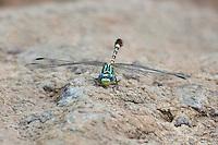 385360009 a wild male serpent ringtail erpetogomphus lampropeltis natrix perches on a rock along bear creek in cochise county arizona