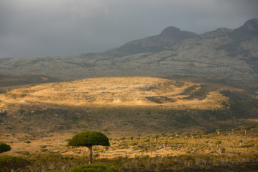 Dragon's blood tree (dracanea cinnabari) on the Diksam plateau. This endemic tree is really rare (7000 only in Socotra)
