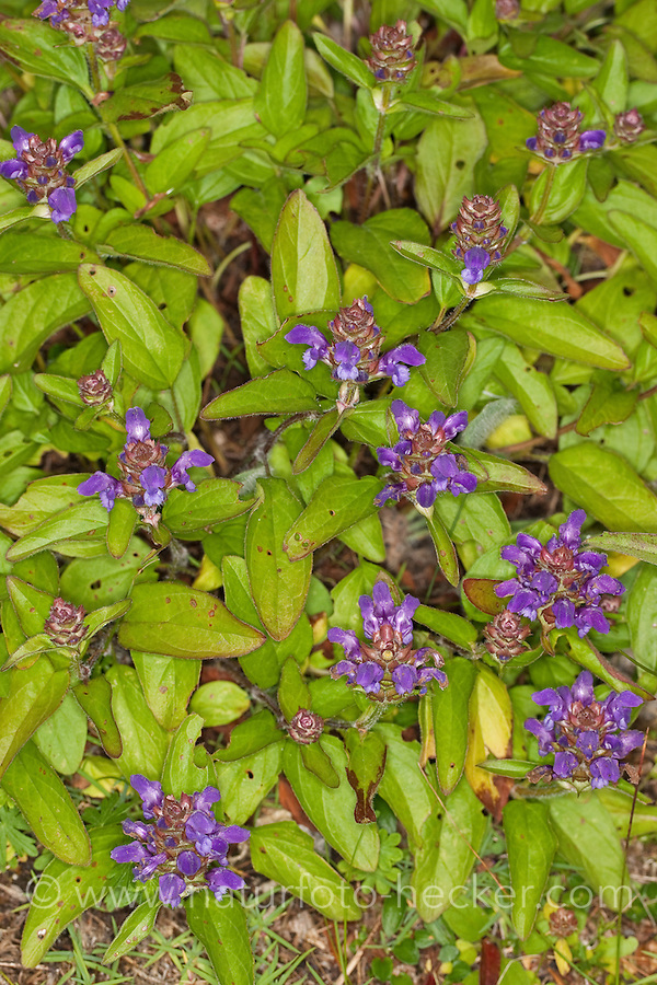 Großblütige Braunelle, Große Braunelle, Prunella grandiflora, large selfheal, large self-heal