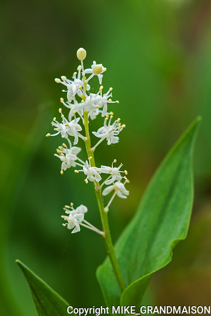 Wild Lily-of-the-valley (Maianthemum canadense) at Bunny Lake<br />