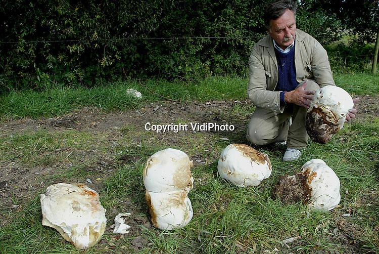Foto: VidiPhoto..OOSTERHOUT - In het weiland van veehouder Johan den Hartog uit het Gelderse Oosterhout is op dit moment een bijzonder natuurverschijnsel te zien. In de schaduw van een treurwilg groeit er een vijftal reuzenchampignons, ter grootte van een basketbal. Volgens deskundigen komen wilde champignons van dit formaat slechts zelden voor en dan nog alleen bij een juiste luchtvochtigheid. De reuzenchampignons zijn eetbaar.
