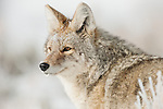 A portrait of a coyote as it hunts for food in Yellowstone National Park, Wyoming.