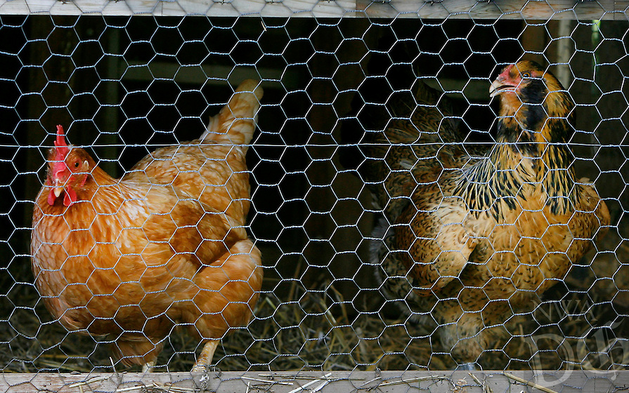 NWA Media/DAVID GOTTSCHALK - 6/16/14 - Henrietta, 1, and Frannie, 1, female laying chickens, in the chicken coup in the backyard of Dana Smith Monday June 16, 2014 in Fayetteville. Smith is the administrator of F.L.O.C.K, the Fayetteville League of Chicken Keepers, an online advocacy  group helping chicken owners inside the Fayetteville city limits.