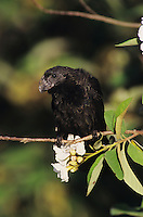 Groove-billed Ani, Crotophaga sulcirostris, adult on Mexican Olive Tree, The Inn at Chachalaca Bend, Cameron County, Rio Grande Valley, Texas, USA, May 2004