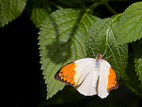 Great Orange Tip butterfly (Hebomia glaucippe). Victoria Butterfly Gardens, Victoria, B.C. Canada