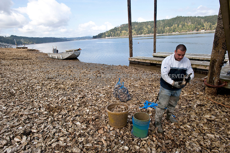 4/25/2009--Union, WA, USA..A commercial oyster farmer walks on beds of oysters during a  low tide along the Hood Canal, a glitteringly beautiful 60-mile long fjord and the western waterway of Puget Sound, located about an hour and a half outside Seattle. With the snow-clad Olympic Mountains as a backdrop and beaches bristling with oysters, clams, mussels, and crabs, it's ripe for a shellfish safari...©2009 Stuart Isett. All rights reserved.