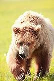 USA, Alaska, Homer, a sow grizzly bear walks aggressively towards a group of hikers, Katmai National Park, Katmai Peninsula, Gulf of Alaska