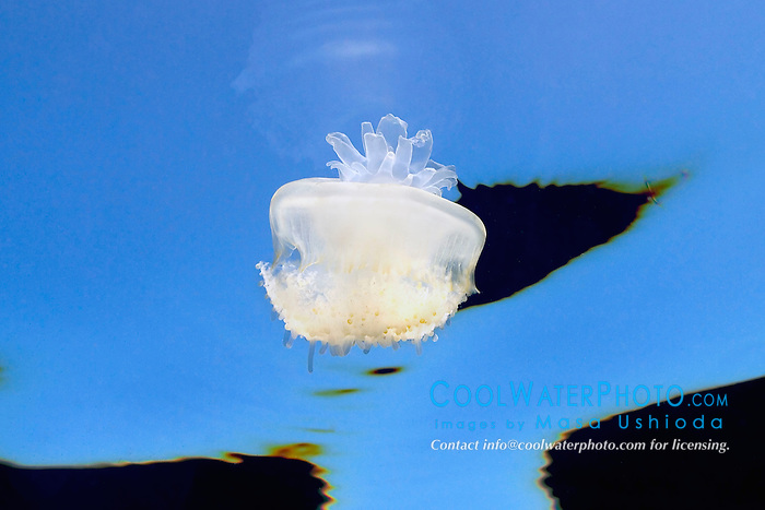 crowned jellyfish, Cephea cephea, offshore, Kona, Big Island, Hawaii, Pacific Ocean