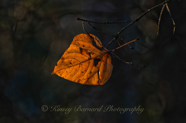 """""""SIMPLICITY""""<br /> <br /> An aspen leaf caught by a branch when it attempted to fall in autumn."""