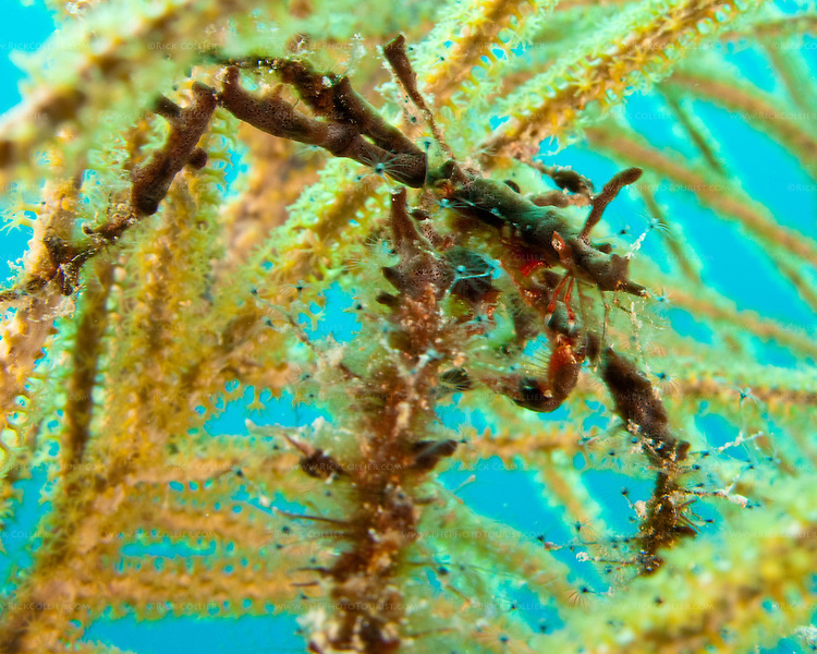 "A dark-colored small neck crab has chosen a particularly bad hiding place on a light-colored soft coral frond.  The neck crab is very small, at maybe 1 or 2 inches in size. A sort of ""decorator"" crab, it allows itself to be covered with other small organisms and algae to blend in to its environment.  At the ""Amber Head"" dive site, Turneffe Atoll, Belize."