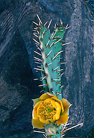 Desert prickly-pear,  220 Mile Canyon<br />