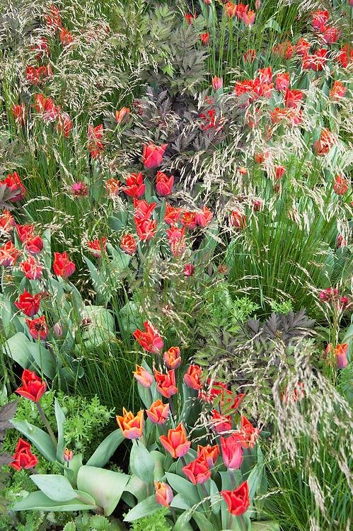 Tulipa sprengeri interplanted with grasses, The Telegraph Garden, RHS Chelsea Flower Show 2015 designed by Marcus Barnett.