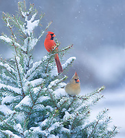 Northern Cardinals, male and female, Lumberton, New Jersey