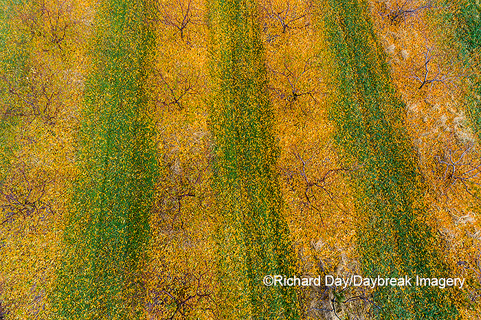 63801-12118 Peach orchard in fall-aerial  Marion Co. IL
