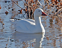 Greater snow goose adult
