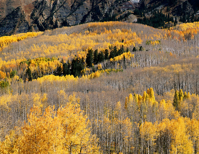 Kebler Pass area; aspen in fall color; Gunnison National Forest, Colorado