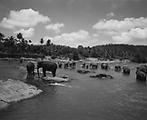 SRI LANKA, Asia, herd of elephant in Maha Oya river (B&W)