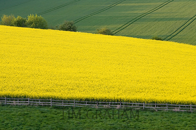 Rape seed crop field, Stow-On-The-Wold, The Cotswolds, Gloucestershire, England, United Kingdom