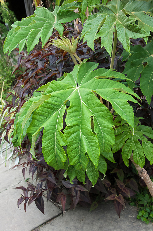 "Tetrapanax papyrifer, Exotic Garden, Great Dixter, early June. ""One of the most dramatic foliage plants. Huge, deeply lobed, green palmate leaves up to 2m across, neatly dissected with cream veins, are held on arching stems, like vast fans."" [Fergus Garrett]"