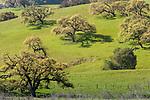 USA, California, live oak trees