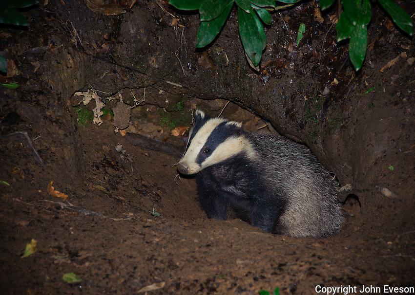 Eurasian badger (Meles meles) near a sett, Lancashire.