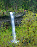 Silver Falls State Park, OR<br /> South Falls plunges 177 ft over basalt cliff into <br /> Silver Creek Canyon framed with big leaf maples in early spring