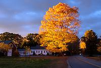 Gorgeous evening light shines on gold maple tree -- Ablaze, Yarmouth Maine, USA