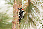 Male downy woodpecker perched on the trunk of a red pine.