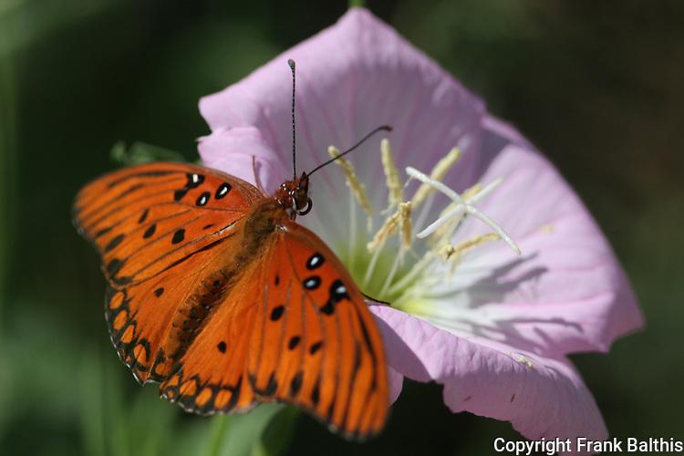 Gulf Frittilary butterfly, Agraulis  vanilla