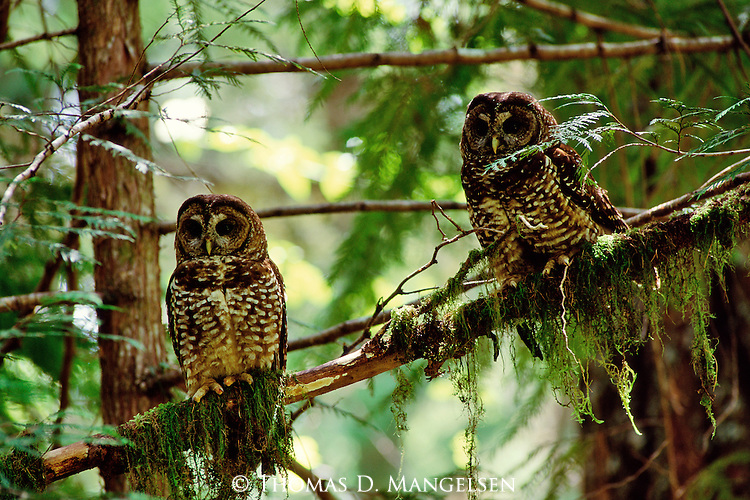 Two spotted owls perch on mossy branches.