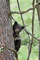 "Wild Black Bear (Ursus americanus) cub climbing tree.  Western U.S., spring. (This is what is known as a ""coy""--cub of the year.)"