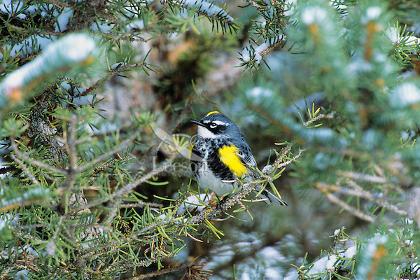 Male Yellow-rumped Warbler (Dendroica coronata) or Myrtle Warbler,  Wyoming.  May.