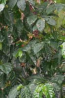 Kaffee, Arabischer Kaffeestrauch, Kaffee-Strauch, Arabica-Kaffee, Bergkaffee, Coffea arabica, coffee