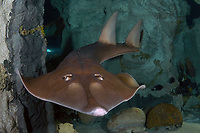 A guitar Shark, Rhinobatos typus, is found in the tropical Indo-Pacific Ocean They eat mostly shellfish and small fish. They live well in aquariums. (This one at Underwater World, Guam)