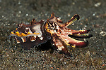 Flamboyant cuttlefish (Metasepia pfefferi) on the sand hunting.