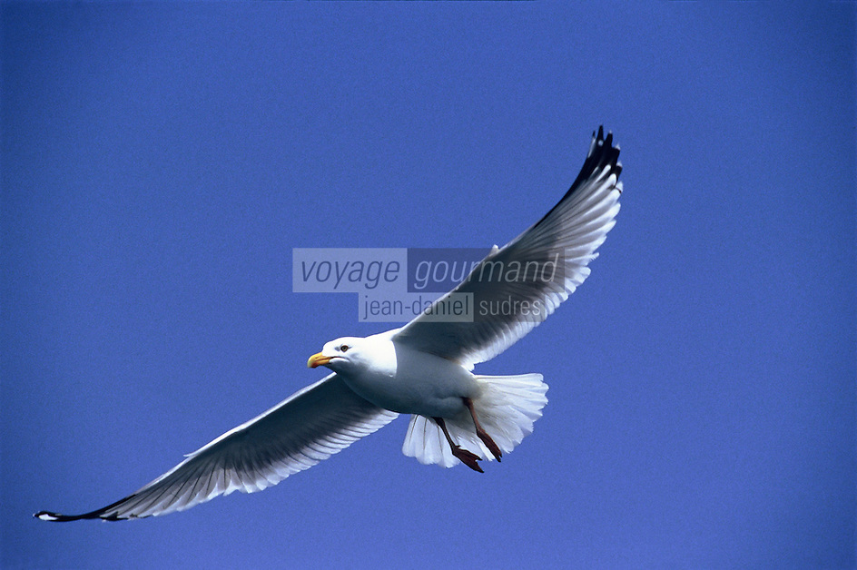 France/17/Charente-Maritime : Mouette