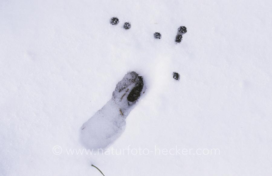 Reh, Rehwild, Spur, Trittsiegel, Fußabdruck, Fährte im Schnee, gemeinsam mit Losung, Kot, Kotpillen, Capreolus capreolus, Roe deer, Chevreuil