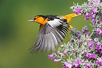 Bullock's Oriole (Icterus bullockii), male taking off from Texas Sage (Leucophyllum frutescens),  Laredo, Webb County, South Texas, USA