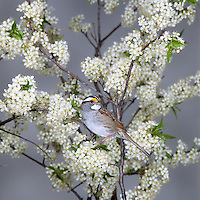 White-throated Sparrow (Zonotrichia albicollis) perched among the white flowers of an American Plum (Prunus americana), Ohio