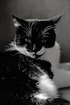 Smiling tuxedo cat, black and white photo
