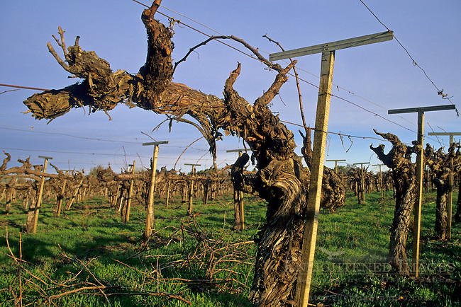 Barren grape vines in winter, vineyard along Dry Creek Road, Sonoma County, California